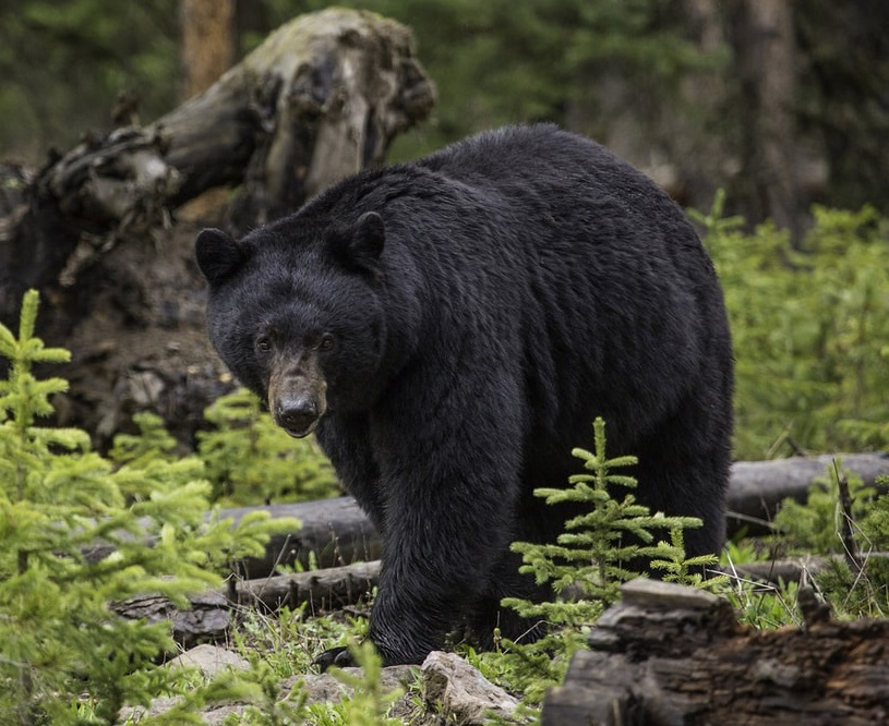 Saskatchewan, Canada Black Bear Hunt for One
